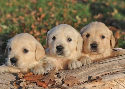 3 chiots golden retriever