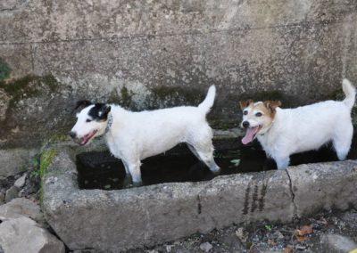 Les chiens Belle et Terrie dans un abreuvoir